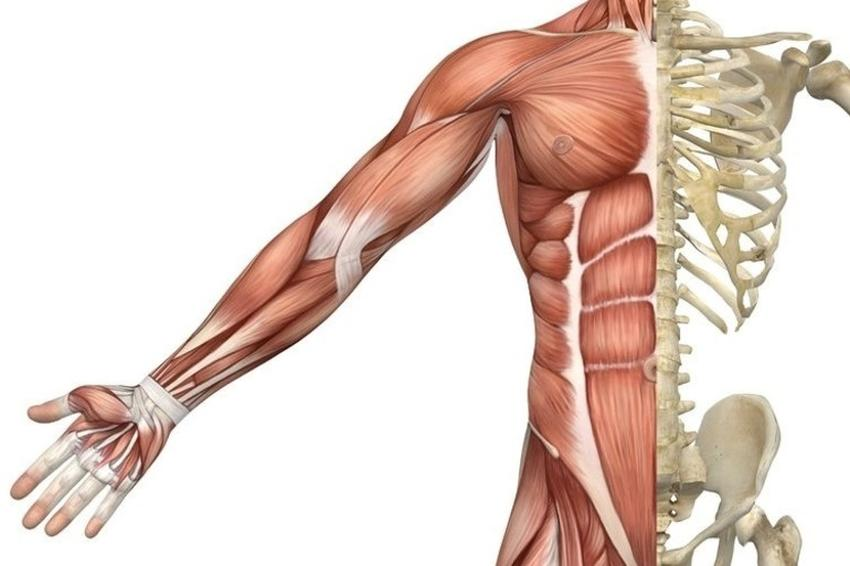 Скелетні м'язи людини