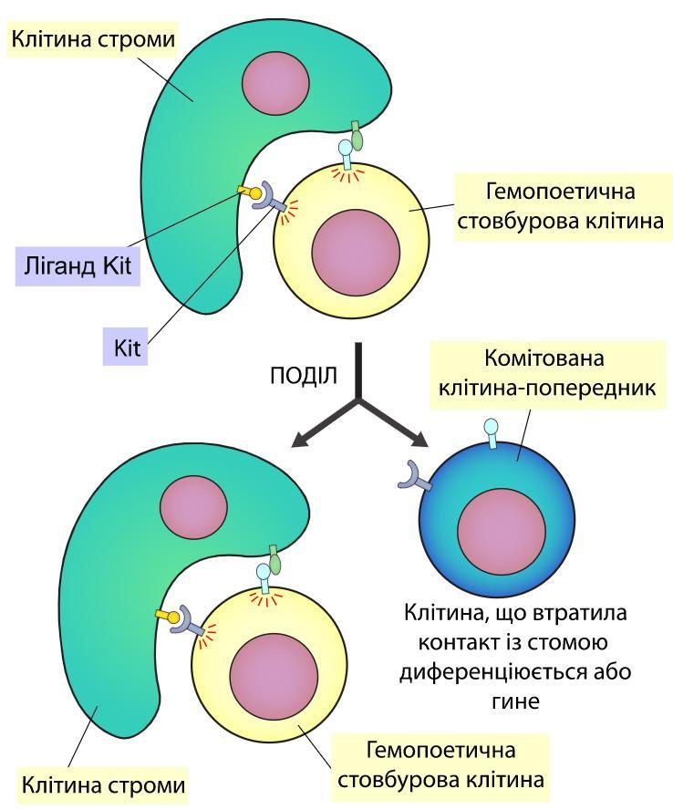Спрощена схема взаємодії між гемоцитобластом та стромальною клітиною (остеобластом)