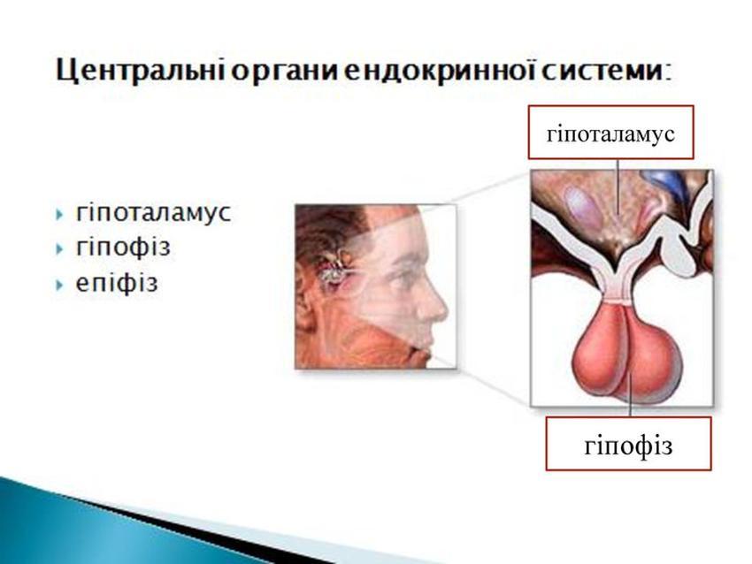 Центральні органи ендокринної системи