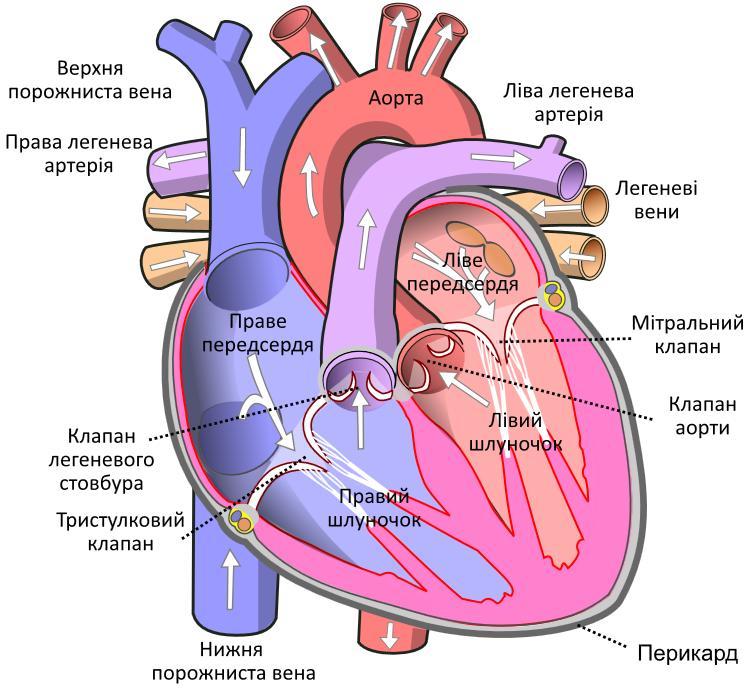 Циркуляція крові через серце3