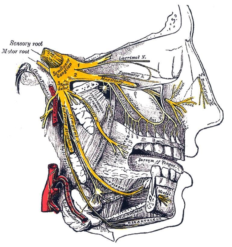 Трійчастий нерв (виділений жовтим)
