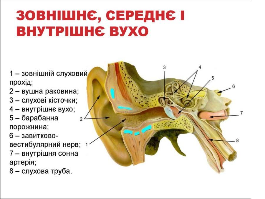 Внутрішня будова вуха людини