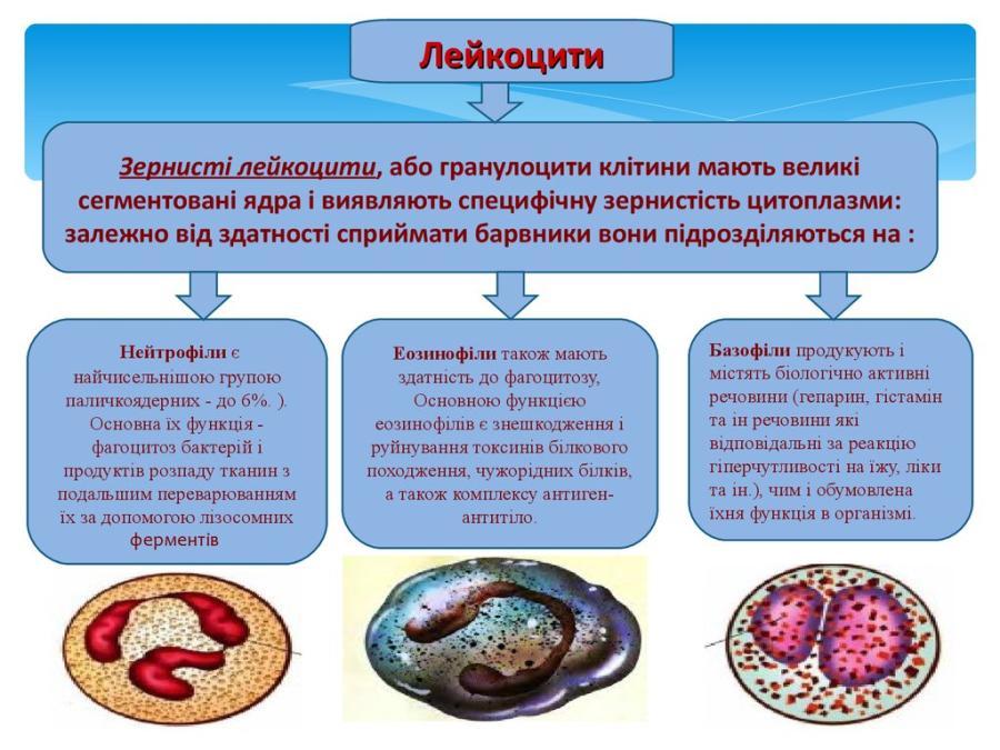 Види лейкоцитів