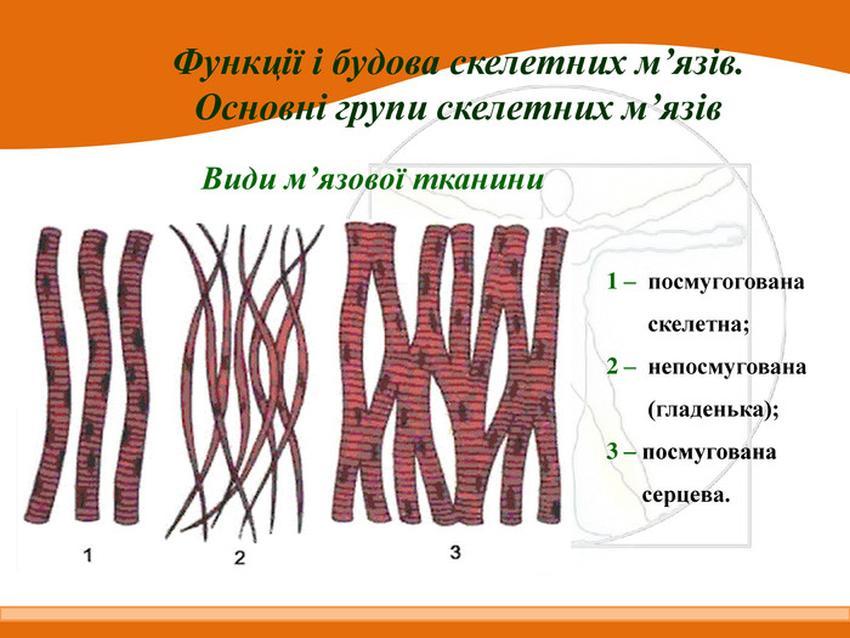 Види м'язової тканини