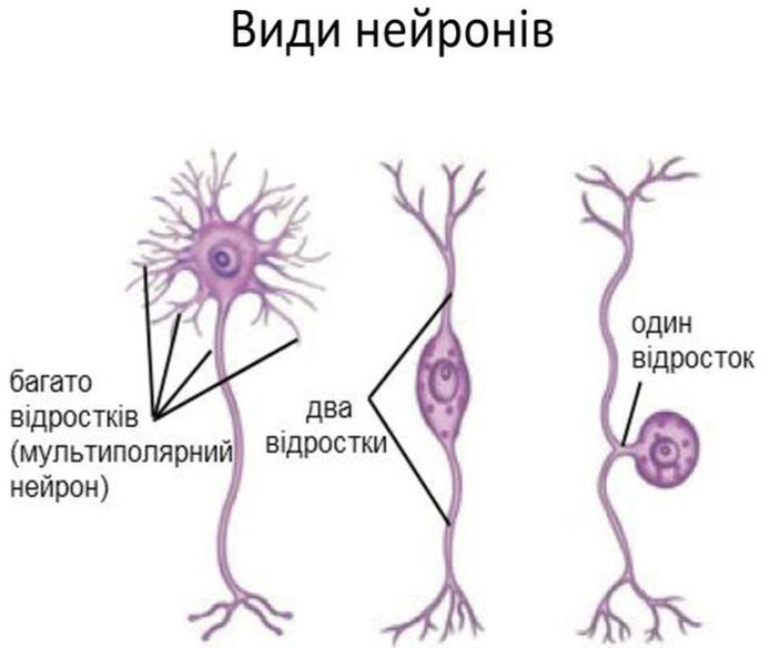Види нейронів3