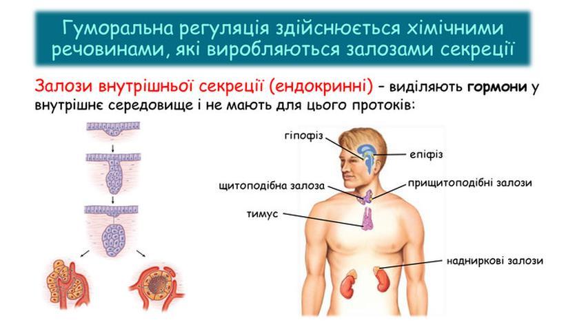 Залози внутрішньої секреції
