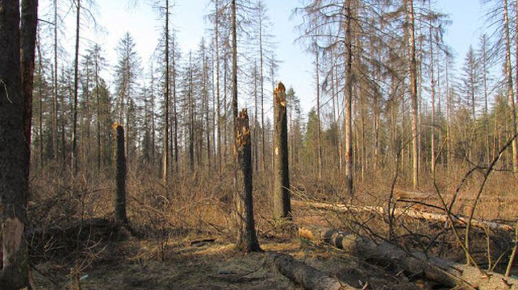 Хвойні ліси України